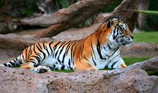 Free Tiger Stock Images - 4001044