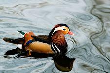 Free Mandarin Duck Stock Photos - 4001063