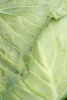 Free Cabbage Leaf With Bug Royalty Free Stock Image - 4001456