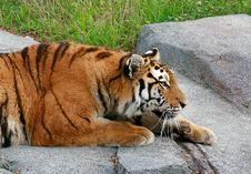 Free Siberian Tiger Stock Image - 4001821