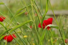 Free Corn Poppy Stock Image - 4001831