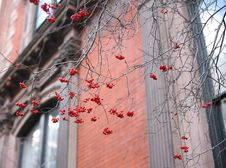 Free Red Berries In The City Royalty Free Stock Images - 4002099