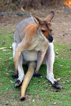 Free Kangaroo Stock Photos - 4002663
