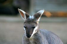 Free Kangaroo Royalty Free Stock Image - 4002676
