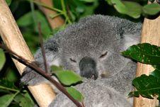 Free Koala Bear Stock Images - 4002684