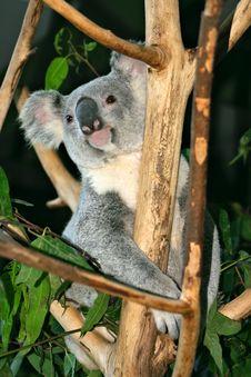 Free Koala Bear Royalty Free Stock Photography - 4002687