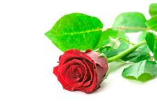 Free Red Rose Stock Photo - 4003330