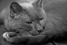 Free Cat In Black And White Royalty Free Stock Images - 4003339