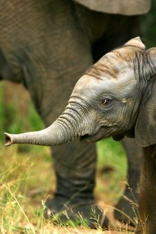 Free African Elephants Stock Photo - 4003600