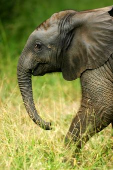 Free African Elephants Royalty Free Stock Image - 4003606