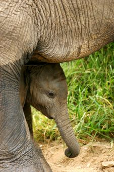 Free African Elephants Royalty Free Stock Images - 4003649