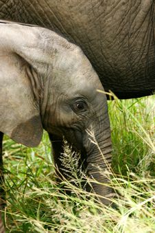 Free African Elephants Stock Photos - 4003713