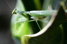 Free Pray Mantis Stock Photography - 4003842