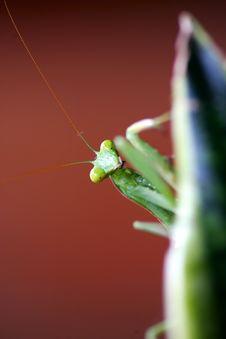 Free Pray Mantis Royalty Free Stock Image - 4003936