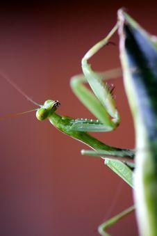 Free Pray Mantis Stock Photo - 4003950