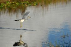 Free Tricolored Heron Royalty Free Stock Photography - 4004917