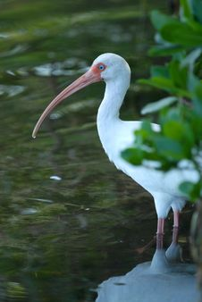 Free White Ibis Royalty Free Stock Images - 4004919