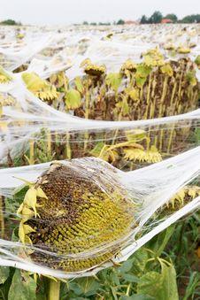 Free Sunflowers Royalty Free Stock Image - 4005616