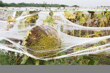Free Sunflowers Royalty Free Stock Photos - 4005658