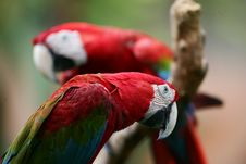 Free Scarlet Macaws Royalty Free Stock Image - 4005996