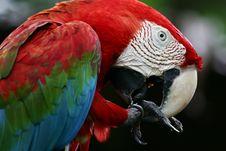 Free Scarlet Macaws Stock Image - 4006041