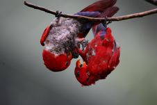 Free Red & Blue Lorikeet Royalty Free Stock Images - 4006059