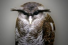 Free Malay Eagle Owl Stock Images - 4006184