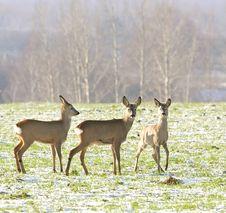 Roe Deer ( Capreolus Capreolus ) Royalty Free Stock Photo