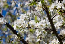 Free Plum Tree Blossoms Stock Photography - 4006472
