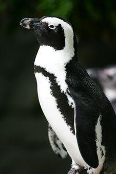 Free Magellan Penguin Royalty Free Stock Images - 4006559