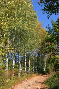 Free Atumn Birch Tree Stock Photo - 4007330