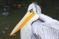 Free Pelican Portrait Royalty Free Stock Photo - 4007435