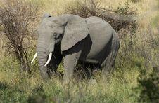 Free Elephant Bull Stock Photography - 4008242