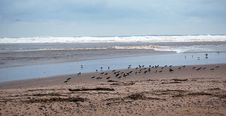 Oystercatchers On Brora A Beach,Sutherland, Scotland, UK Stock Photography