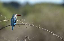 Free Woodlands Kingfisher Royalty Free Stock Photography - 4008417