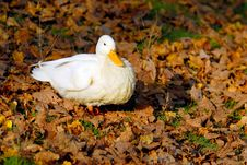 Free White Duck Stock Photography - 4010542