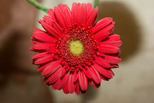 Free Red Gerber Daisy Royalty Free Stock Images - 4010749
