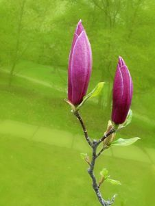 Free Pink Bud Of A Magnolia-2 Stock Image - 4012181