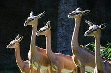 Free Gerenuk Females Royalty Free Stock Images - 4012339
