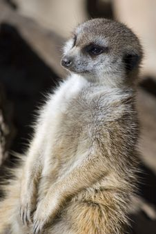 Free Meercat Enjoying Sun Stock Photography - 4012412