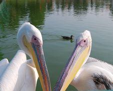 Free Bird Pelican Royalty Free Stock Image - 4015096