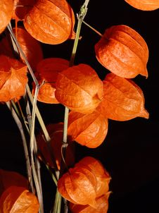 Free Physalis Royalty Free Stock Images - 4015889