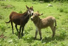 Free Donkeys Royalty Free Stock Photo - 4016725