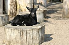 Free Little Black Goat Royalty Free Stock Photo - 4017235