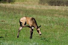 Free Buckskin Foal Royalty Free Stock Photos - 4018008