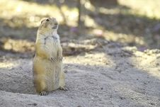 Free Prairie Dog Royalty Free Stock Image - 4018376