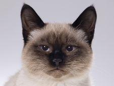 Free Siamese Kitten Royalty Free Stock Photo - 4018455