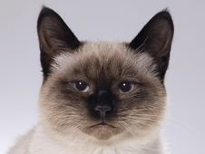 Siamese Kitten Royalty Free Stock Photo
