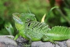Free Emerald Double-crested Basilisk Royalty Free Stock Images - 4019349