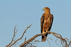 Free Tawny Eagle Royalty Free Stock Images - 4019899